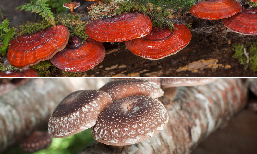 Best Medicinal Mushrooms for Immunity, Memory and Cancer Protection
